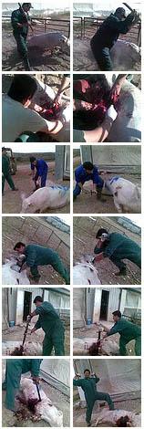 Granja de cerdos El Escobar de Murcia