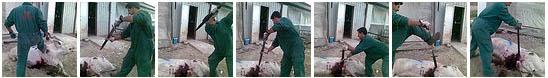 Brutalidad en Granja El Escobar de Murcia