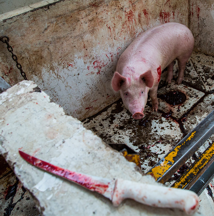 one_third_pig_slaughterhouse_knife_mexico