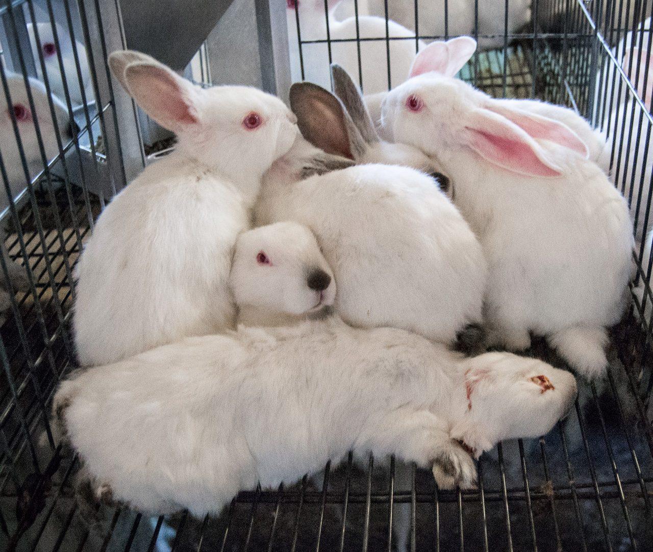 Investigación En Granjas De Conejos De España