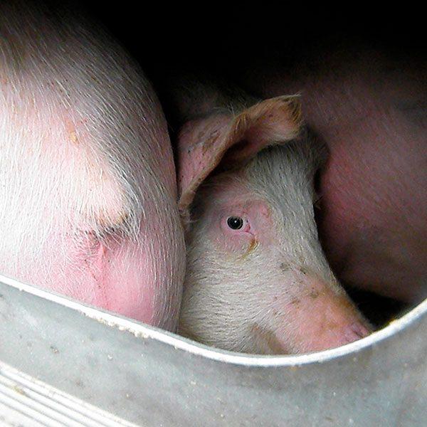 cerdos, transporte, animales, vivos, sanciones, unión, europea