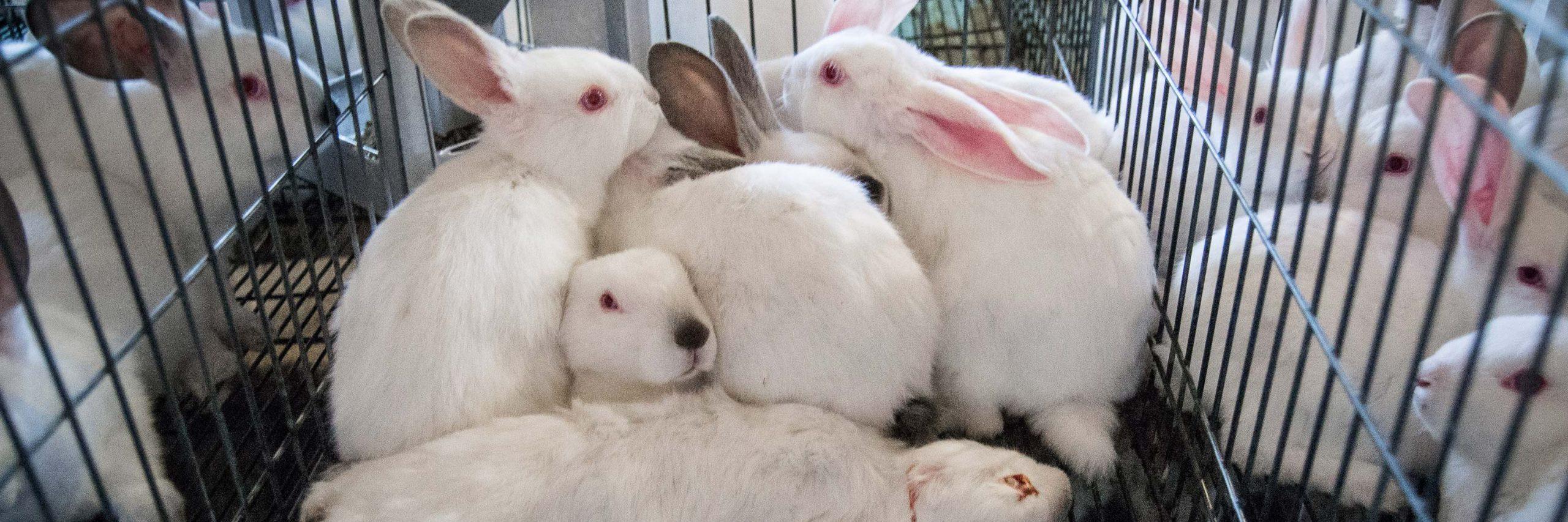Europa Detecta Problemas De Bienestar En Las Granjas De Conejos Españolas