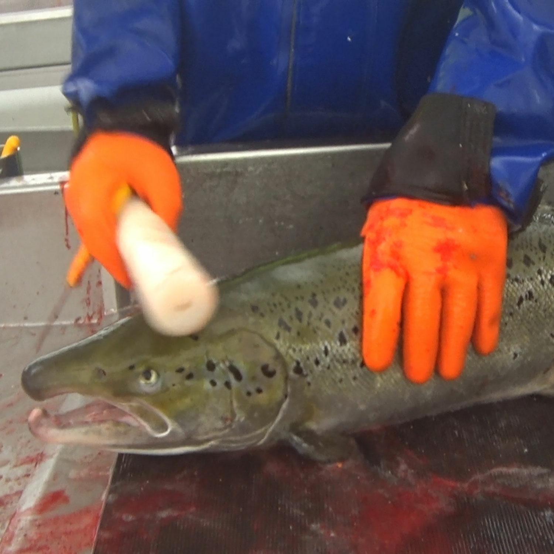 Worker clubbing salmon in slaughterhouse